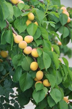 Apricots - love to grow apricots - I remember eating them of the tree as a child