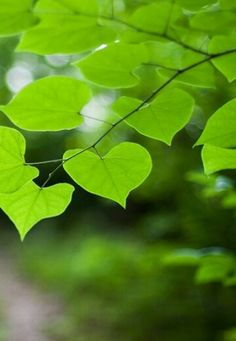 green leaves,just see these green leaves,you will feel the life energy.