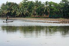 Ducks In Kerala Backwaters