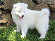 Malamute Husky Mix for Sale | Samoyed Husky Mix Puppies Samoyed puppies for sale in pa