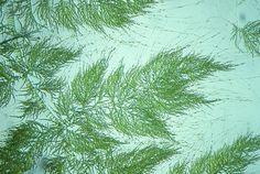 Draparnaldia glomerata algae | 1993 Photomicrography Competition | Nikon's Small World