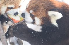 円山動物園 エイタとギン  Red pandas レッサーパンダ 小熊猫
