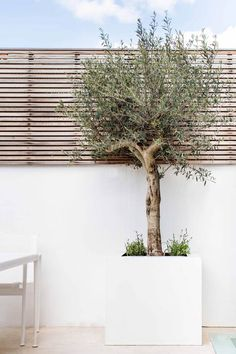 Olive tree in raised planter. Contemporary slatted trellis on top of the walls - Olive tree in raised planter. Contemporary slatted trellis on top of the walls - Tree Planters, Outdoor Planters, Garden Planters, Outdoor Gardens, Trees In Pots, Potted Trees Patio, Small Courtyard Gardens, Garden Toys, Backyard Garden Design