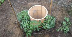 I started May 28th planting 4 tomatoes around a garbage can with holes drilled in the bottom rim and a second row up about 10 inches. I buried the can to where…