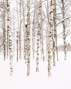 Birch - koivu Kittilä, Finland, Lapland Photo by @virpula1