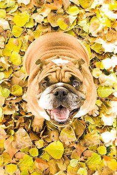 bulldog in the fall
