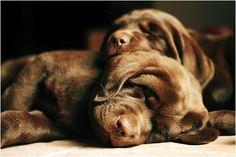 sleepy chocolate puppies