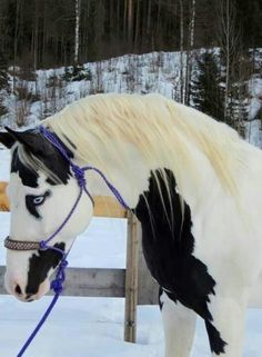beautiful paint horse in the snow. Graceful bent neck, pretty face and gorgeous blue eyes. Most Beautiful Animals, Beautiful Horses, Beautiful Creatures, Beautiful Eyes, Pretty Eyes, Simply Beautiful, Absolutely Stunning, Amazing Eyes, Hello Gorgeous