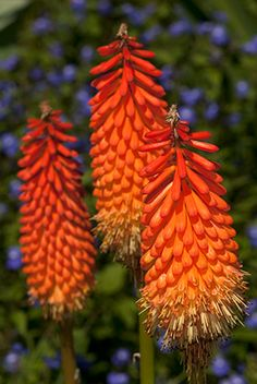 Orange - Perennial Garden---- Red Hot Poker---one of my favorites