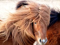 'Nice Hairday 3 of 4' - photo by Helgi Skulason, via Flickr;  Icelandic Horse