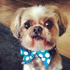#cute #dog #bowtie
