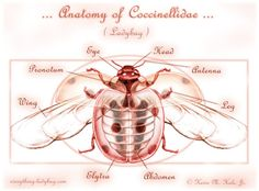 Ladybug Anatomy | Ladybug anatomy, anatomy of coccinellidae