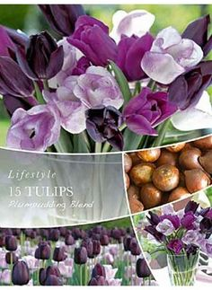 Tulipan Shirley, Tulipan Queen of Night, Tulipan Passionale,