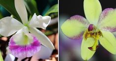 Porque a la hora de tener (y cuidar) orquídeas NO es oro todo lo que reluce...