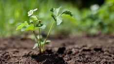 Как без особых усилий обновить плантацию клубники (садовой земляники) на дачном участке?