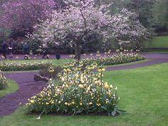 keukenhof kukkiva kirsikkapuu ja vaaleaa keltaista