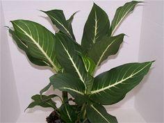 Dieffenbachia Sterling - Triad Plant Company