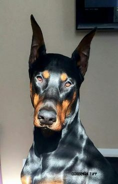 The Doberman Pinscher is among the most popular breed of dogs in the world. Known for its intelligence and loyalty, the Pinscher is both a police- favorite I Love Dogs, Cute Dogs, Animals And Pets, Cute Animals, Doberman Pinscher Dog, Doberman Breed, Doberman Love, Beautiful Dogs, Rottweiler