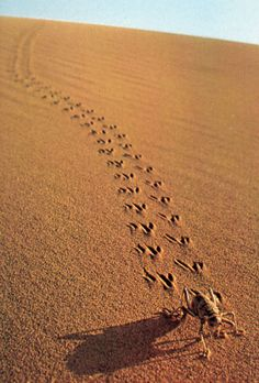 Of reptiles and robots - locomotion in sand Desert Photography, People Photography, Animal Photography, North American Animals, Deserts Of The World, Cloud Atlas, Animal Tracks, Digital Fabrication, Zoology