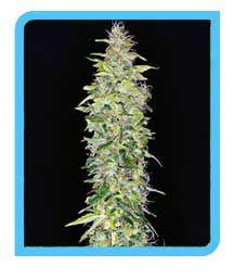 legal hanfsamen online bestellen...http://buy-hemp-seeds.com/