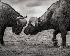 Buffalos Head to Head, Lake Nakuru, 2011 by Nick Brandt Nick Brandt, Photography Office, Animal Photography, Wildlife Photography, Retarded Animals, Dangerous Animals, Wildlife Art, Natural World, Pet Portraits