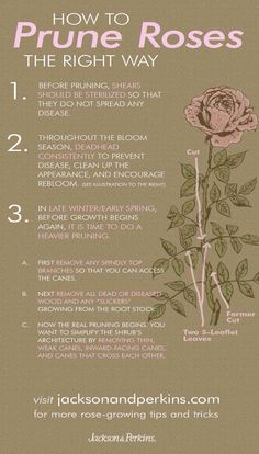 How to prune roses the right way. Gardening tips Rose - How to prune roses the right way. Gardening tips Rose How to prune roses the right way. Gardening tips Rose - Garden Care, Container Gardening, Gardening Tips, Organic Gardening, Vegetable Gardening, Gardening Quotes, Texas Gardening, Plantas Indoor, Rose Care