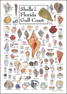 We are trying to find at least one of each of these shells. http://www.nature-discovery.com/shop/images/shells_florida_gulf_coast.jpg    (I've always loved our shells and picked them up all my life. It used to be I could find tiny, perfect shells at the high water line, but they seemed to have disappeared over the years.  :(  )
