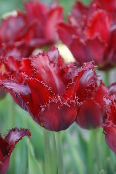 Tulipa Cuban Nights - Dutch Garden World