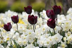 2017: Year of the Daffodil - Jonquilla Pueblo, Tulip Ronaldo (Longfield Gardens)