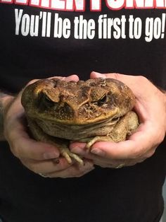 Giant Bufo Toad. They look so grumpy. :)