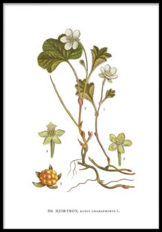 Here you will find floral prints and posters. Stylish posters with botanical prints of colorful plants. Buy botanical posters online from Desenio. Poster S, Poster Prints, Botanical Illustration, Illustration Art, Illustrations, Botanical Prints, Floral Prints, Impressions Botaniques, Wildflower Tattoo
