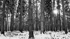 Bylaugh Woods. Picture Steve Hunt