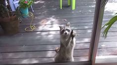 Raccoon Knocks On Window With A Rock For Hours Til She Gets What She Came For!