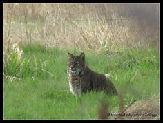 Bobcat at Alderleaf Wilderness College. This bobcat has been spotted around Alderleaf several times over the last month.