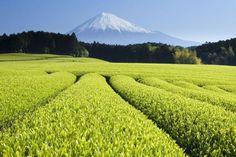 日本富士山鄰近的綠茶園美景