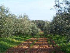 L'oliveraie au printemps