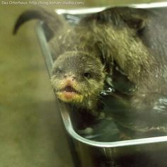 Otter pup is not enjoying this swimming lesson - October 19, 2013
