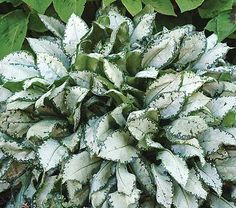 """Pulmonaria moonshine (lungwort).  Spring blooming.  Blue flowers.  15"""" tall, space 12-18"""" apart.  Moist soil, full or part shade.  Evergreen in my area."""