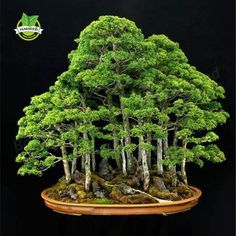20 juniper bonsai tree Seeds potted flowers office bonsai purify the air absorb harmful gases shipping