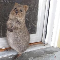Quokkas tend to invite people over for a nice home-cooked meal every so often; they'll even wait for their guests by the door to greet them as soon as they arrive. | 17 Reasons Why 2015 Will Be The Year Of The Quokka