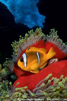 Red Sea, Egypt with a sea anemone and clown fish in symbiosis.