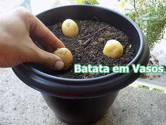 Como Plantar Batata em Vasos (incio,meio,fim)