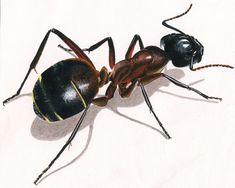 Illustration animale la fourmi