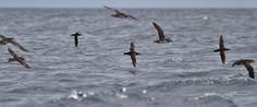 Manx shearwaters flying over sea