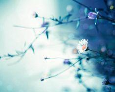 teal photography flower daisy photography fine art 8x10 8x12 botanical photography floral spring photography pastel blue aqua spring decor