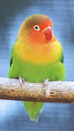 Fischer's Lovebird -- I know one of these who is cute but antisocial