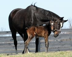 Champion racehorse Zenyatta with her foal. OMG so cute.