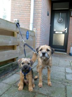 Border Terrier Mum and her Puppy Border Terrier, Patterdale Terrier, Best Dog Breeds, Best Dogs, Terrier Dogs, Terriers, Animals And Pets, Cute Animals, Dogs And Puppies