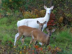 """Autumn Stroll"" by Michael {lifeinthenorthwoods.com} .... albino deer, Kicker, and her 2 fawn"