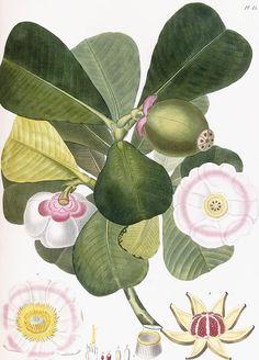 Clusia rosea, Clusier a fleurs roses. From 'Flore des Antilles ...', by Pierre Antoine Poiteau